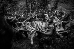 A 10 years old male tiger tranquilized and translocate from the village. Two days before it was enter into valparai village near anamalai tiger reserve.