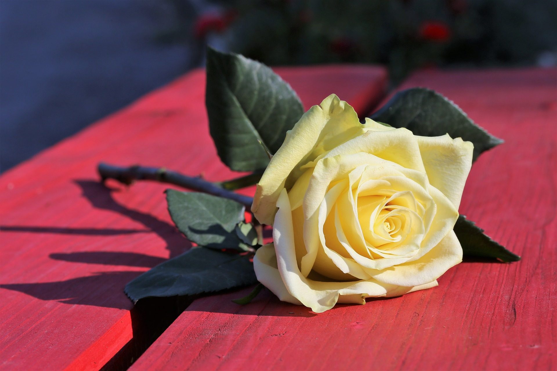 yellow-rose-on-red-bench-3624504_1920